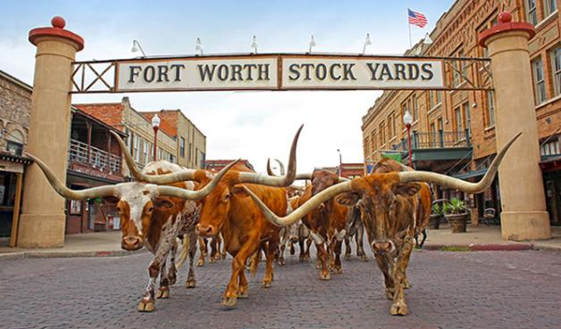 667X391-The-Fort-Worth-Herd-Without-Drover_1